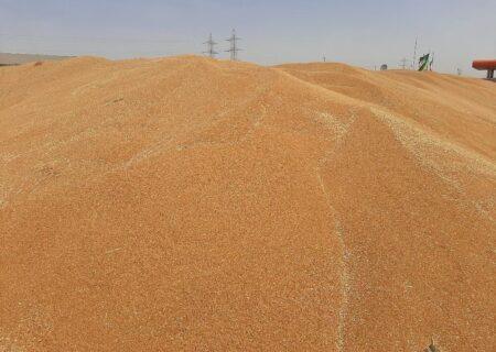 خرید تضمینی گندم در خوزستان از ۹۱۰هزار تن گذشت
