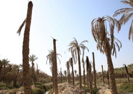 خسارات خشکسالی به نخیلات خوزستان بهزودی پرداخت میشود